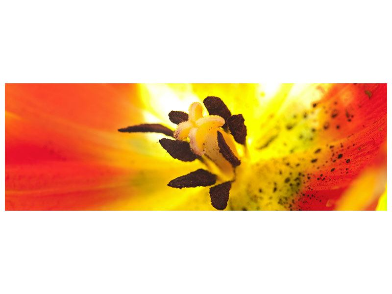 Panoramic Acrylic Print The Scar Of A Tulip XXL