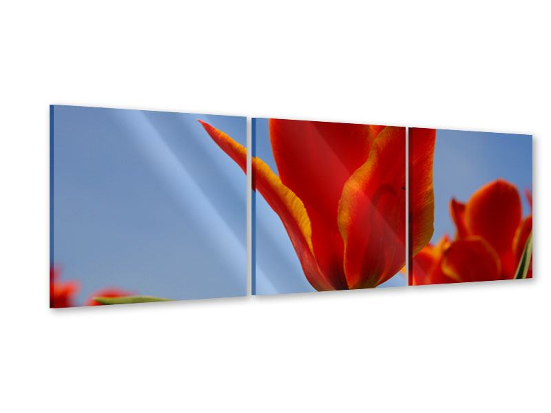 Panoramic 3 Piece Acrylic Print Red Tulips In XXL