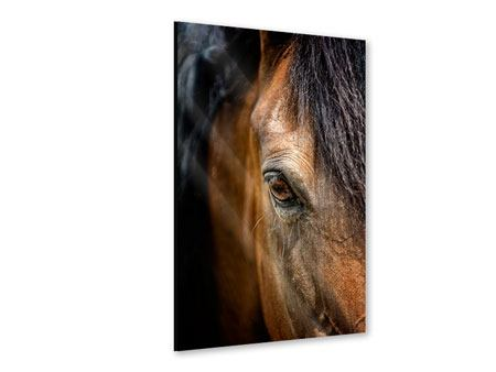 Acrylic Print Thoroughbred Stallion