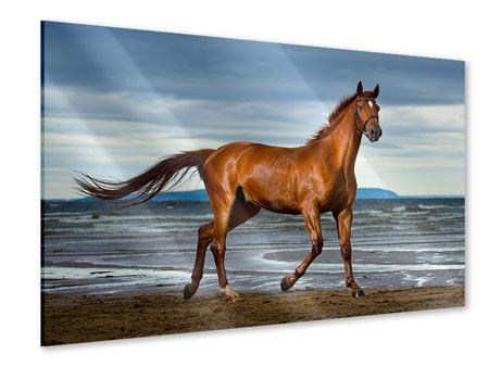 Acrylic Print A Thoroughbred At The Sea